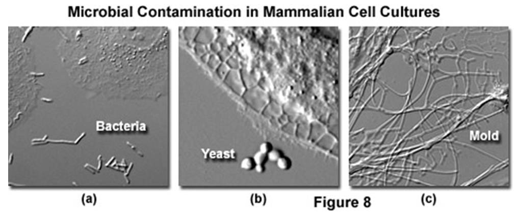 Figure 5: Things you do not want find in your mammalian cell cultures! (https://www.microscopyu.com/articles/livecellimaging/livecellmaintenance.html)