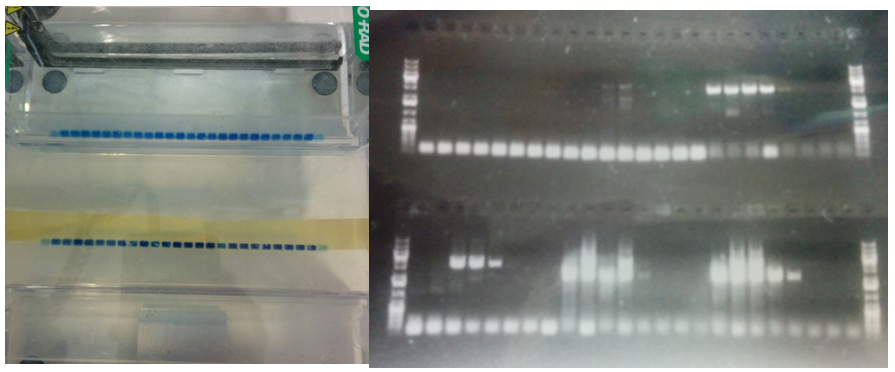 Figure 8: Loading of my agarose gel on the left (hoping), results on the right (celebrating).
